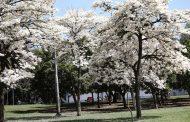 Ipês brancos florescem e enfeitam paisagem do Parque Ibirapuera, Capital, SP